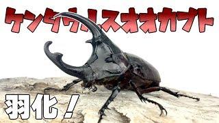 【ぴかぴか!】ケンタウルスオオカブトの羽化・掘り出し Augosoma centaurus 【Part2:羽化・掘り出し編】