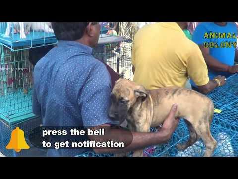 GALIFF STREET GREAT DANE, BULLDOG,BOXER DOG MANY MORE OTHER BREED