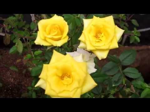 Most Beautiful Yellow Rose Youtube