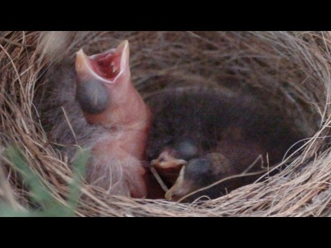 American tree sparrow babies with a brown-headed cowbird baby in Day 1