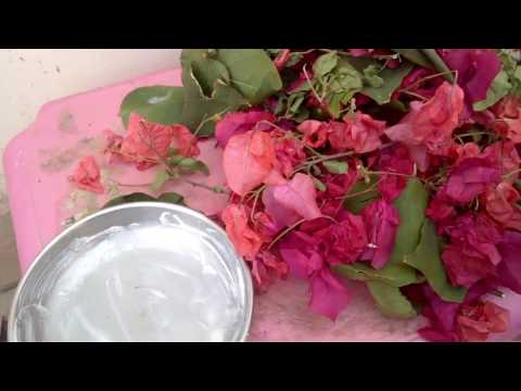 how to start bougainvillea from cuttings