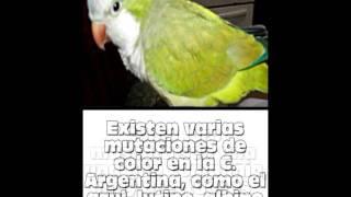 Loros: Conociendo Cotorra Argentina (Myiopsitta Monachus)