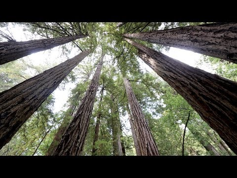 THE GIANT REDWOODS OF MUIR WOODS   Marin County, California