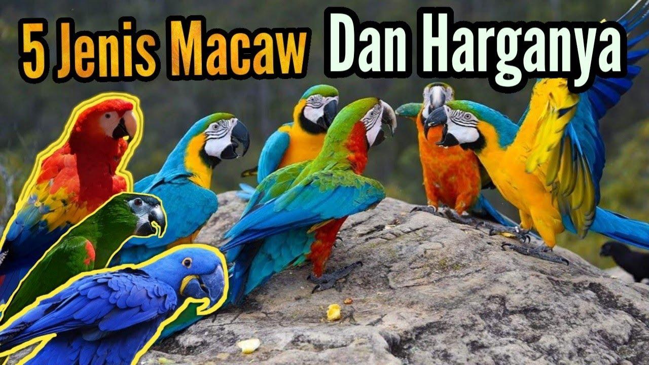 5 Jenis Burung Macaw Dan Harganya Youtube