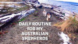Australian Shepherd Daily Routine