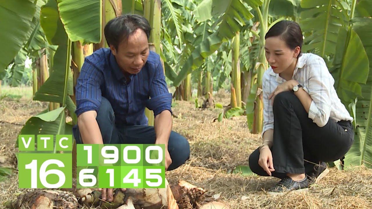 Hướng dẫn cách trồng chuối tây từ A – Z   VTC16