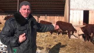 видео: Почему мы не продаем мясных бычков