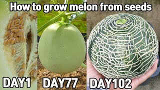 How to grow melon from seeds 2