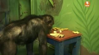 Шимпанзе  кормят мороженым в честь дня рождения зоопарка