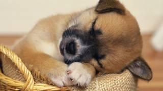 Маленькие собачки. Ксюша Чибышева.