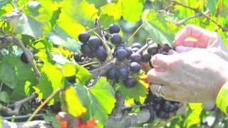 Duplin Winery 35th North Carolina Grape Stomp .m4v