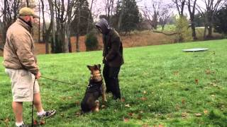 Red Sable German Shepherd Copper V Prufenpuden Protection Trained Obedience