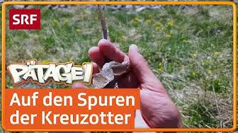 Die Begegnung mit der Kreuzotter | Pätagei im Nationalpark 🇨🇭