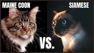Maine Coon Cat VS. Siamese Cat