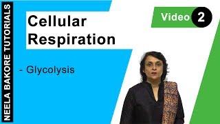 Cellular Respiration - Glycolysis