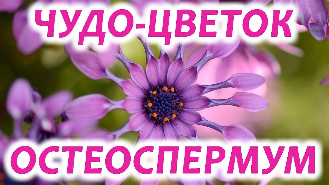 Цветок остеоспермум аккорд