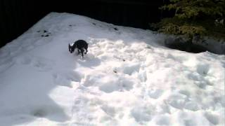 Boston Terrier falling through the snow trying to poop...