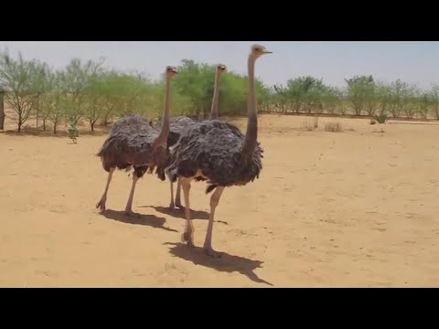 Volunteers in a Calif. RV park help fight North African ostrich extinction
