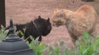о чем кричат коты СМЕШНЫЕ КОТЫ И КОШКИ 2017 ПРИКОЛЫ С КОТАМИ И КОШКАМИ -