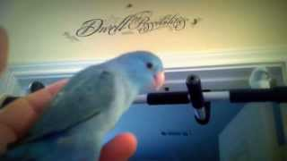 Parrotlets Make THE BEST Pets!