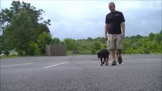 "Off Leash Heeling With Dog Distractions | 5 Month Old Rottweiler ""ruby"" 