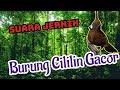 Suara Burung Cililin Gacor Jernih  Mp3 - Mp4 Download