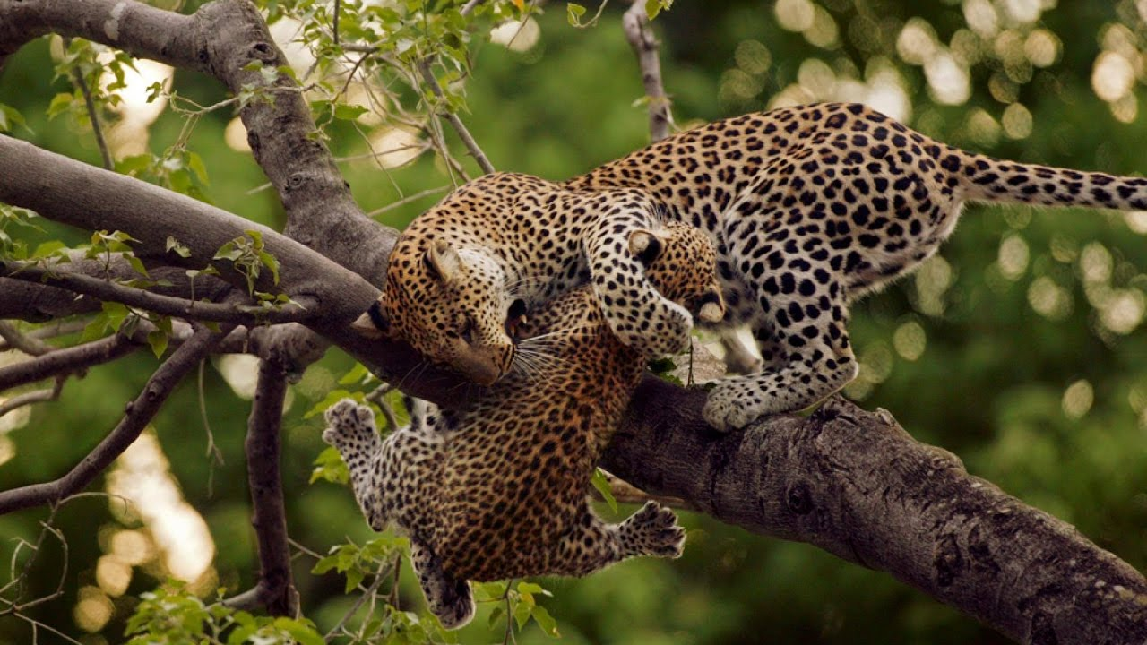 Leopards Hunting Skills L Leopards Hunting Prey Youtube
