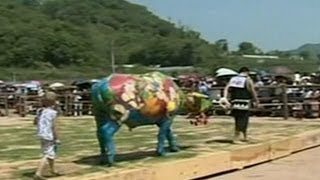 Lomba melukis di tubuh sapi