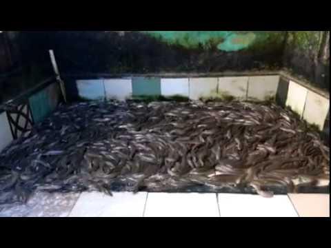 Nuôi cá lóc thương phẩm trong bể xi măng ở Hà Nội 01633330336