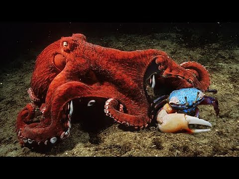 DISCOVER SECRET ON THE SEABED |  How to Octopus Chase And Grab Crab
