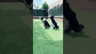 agility training border collie (synchronized)
