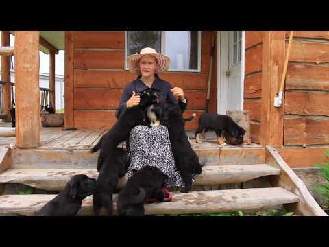 Anatolian Shepherd/Kuvasz Lab Puppies for sale