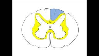 Спинной мозг - лекция