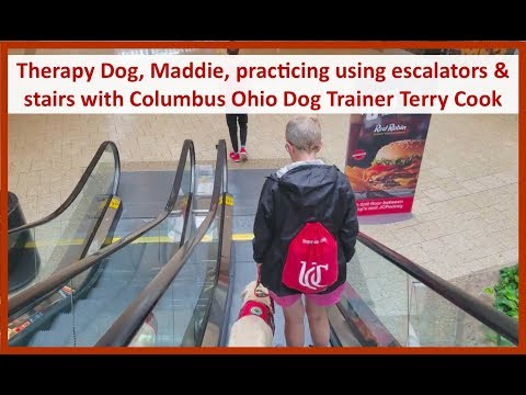 Therapy Dog, Maddie, Working on Stairs and Escalators with Columbus Ohio Dog Trainer Terry Cook