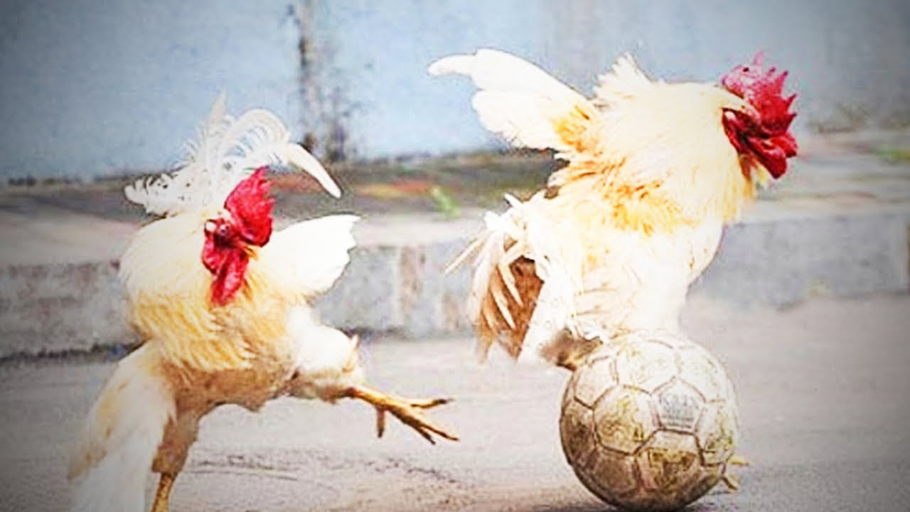 Funny Chicken: Funny Chicken 🐔 😂 Awesome Chickens Playing (Full) [Funny