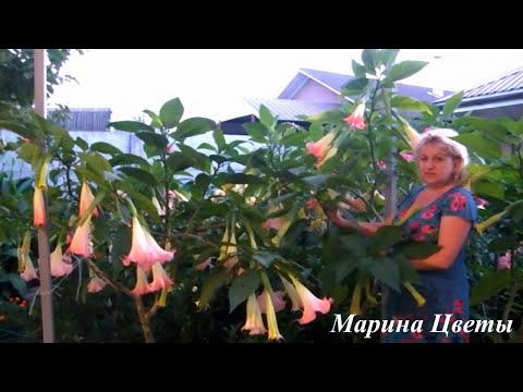БРУГМАНСИЯ СОШЛА С УМА В СЕНТЯБРЕ!!! НЕРЕАЛЬНОЕ ЦВЕТЕНИЕ!!! * Марина Цветы