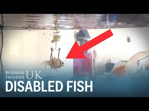 A Pet Owner In Sweden Made A Harness For His Disabled Goldfish That Couldn't Stay Afloat