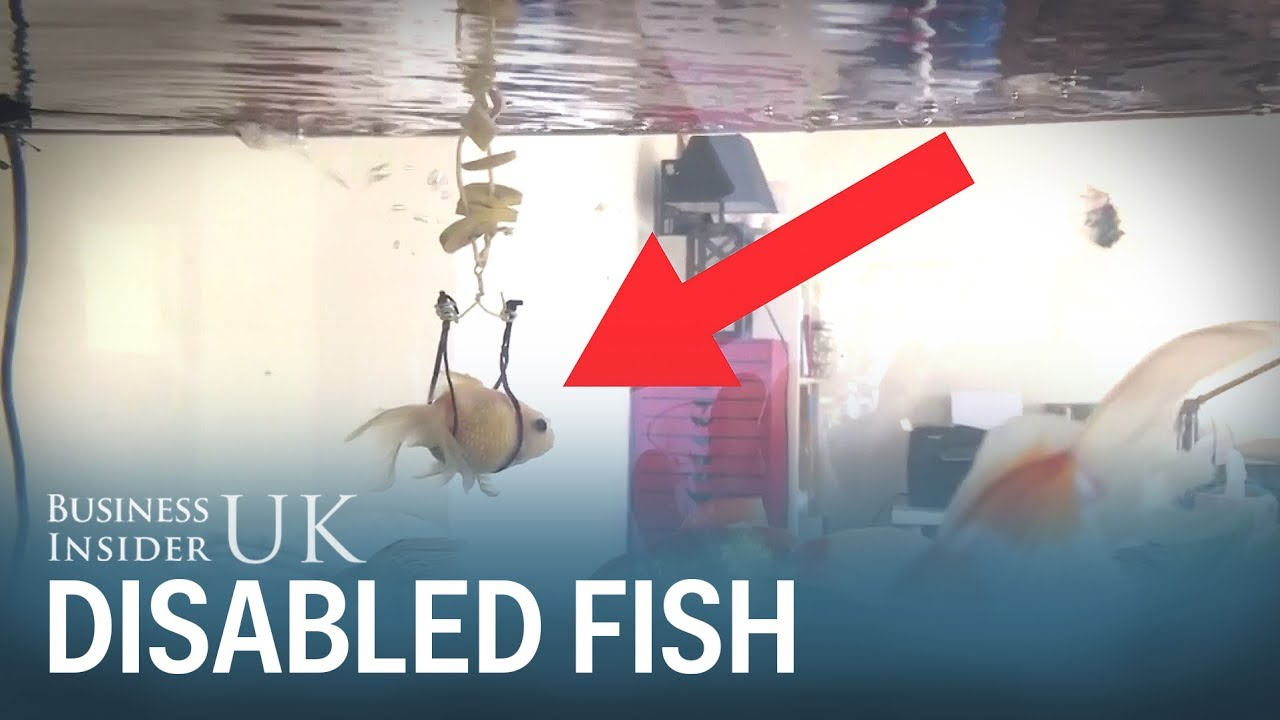 Goldfish who cant swim gets makeshift wheelchair