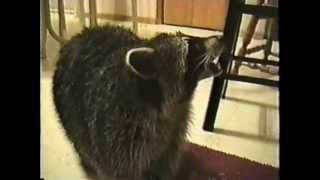 Miko the fat raccoon.