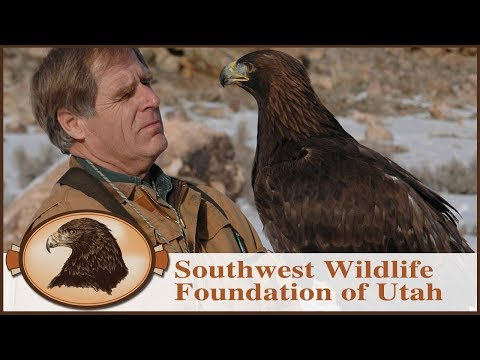 My Own Personal Eagle   Falconry   Golden Eagle Rescue