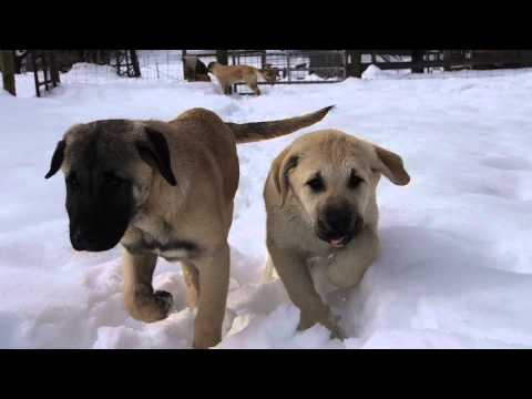 Anatolian Shepherd puppies in the snow at Cedar Rise -February 2015
