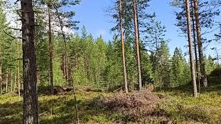 Финляндия утро трудового дня збор черники...
