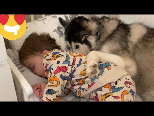 Baby Demands His Huskies To Help Him Fall Asleep! [CUTEST VIDEO EVER!]