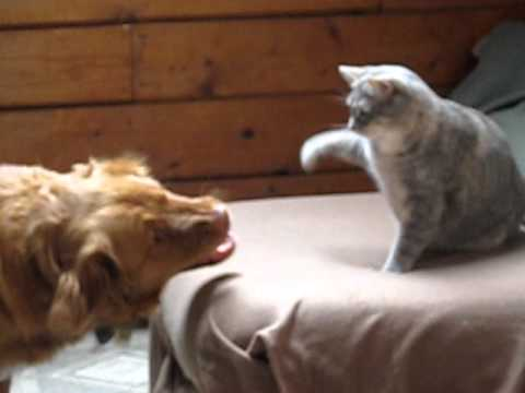 Cat Boxing Dog