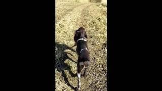 Prairie Wind GSPs, Pups Intro to Pheasants