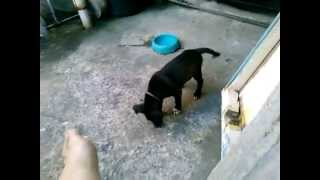 Labrador Mix Pitbull Puppy , Olx   1 Month And 29 Days Old   04 29 14