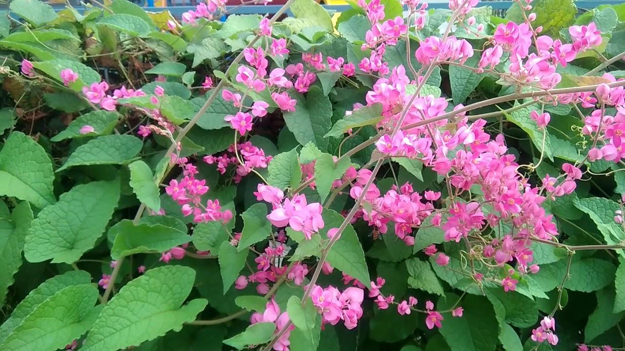 Hd Coral Vine Flower Bunga Air Mata Pengantin Sebagai