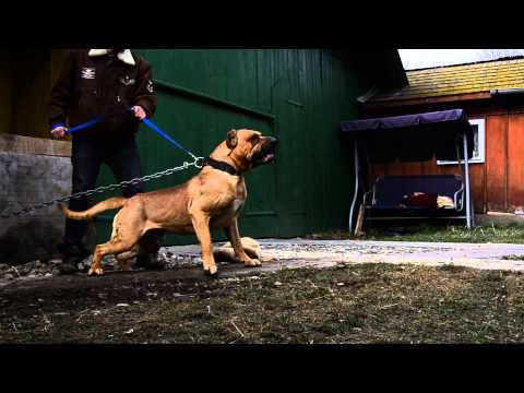 Presa canario aggressivity test
