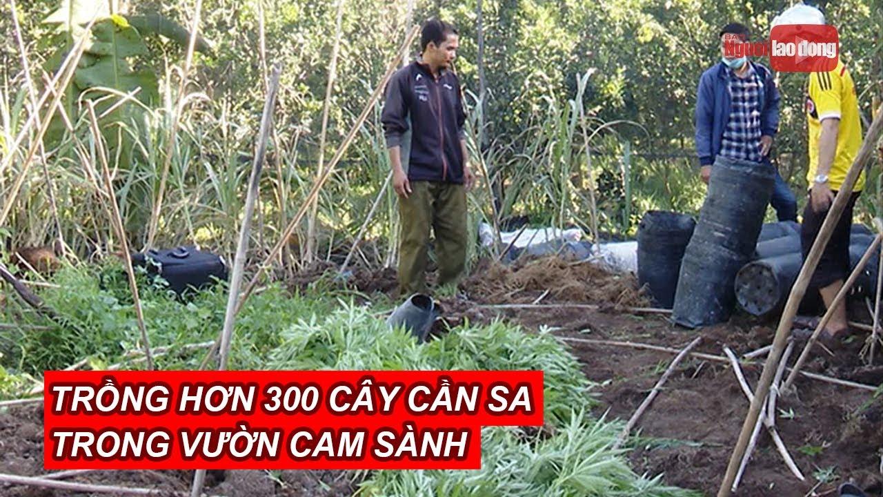 Phát hiện một hộ dân trồng hơn 300 cây cần sa trong vườn cam sành ở Vĩnh Long