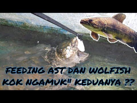 KASIH MAKAN AST DAN WOLFISH KOK PADA NGAMUK!!!